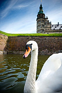 The white swans in the moat